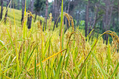 Rice plant Royalty Free Stock Photo