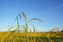 Rice plant in the field. Rice plant in the field,Thailand royalty free stock photo