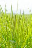 Rice plant. Green farm landscape SONY DSC Royalty Free Stock Image