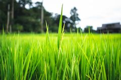 Rice plant Green rice field stock photography
