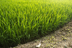 Rice plant and ground Stock Image