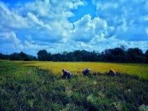 Harvest rice plant stock photo