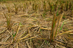 Rice plant. The rice harvest has remained the source Stock Image