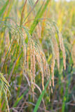 Rice plant Royalty Free Stock Image