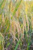 Rice plant Royalty Free Stock Image