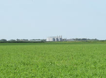Rice plant in the middle of fields Royalty Free Stock Photography
