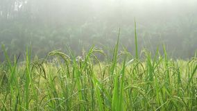 Rice plant stock video