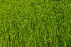 Rice plant Stock Image