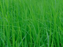 Rice plant. In the Northeast of Thailand Stock Photo