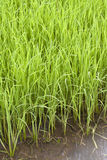 Rice plant in paddy Royalty Free Stock Photo