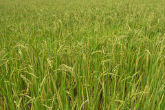 Rice plant in the paddy. Stock Photo