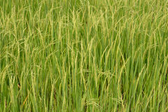 Rice plant in the paddy. Stock Photos