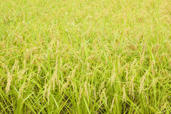 Rice plant. Paddy rice , rice plant in field Stock Images