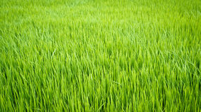 Rice plant in paddy field Royalty Free Stock Images
