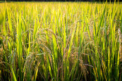 Rice plant in paddy field in Thailand Royalty Free Stock Photo