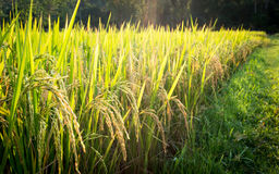 Rice plant in paddy field in Thailand Royalty Free Stock Photos