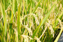 Rice plant Stock Photos