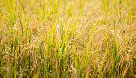 Rice plant ready to be harvested Royalty Free Stock Photo
