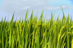 Rice plant in rice field Stock Photo