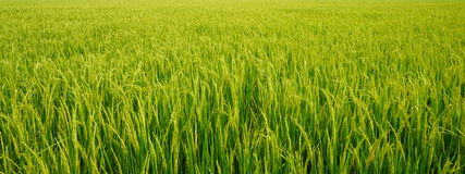 Rice plant in rice field Stock Image