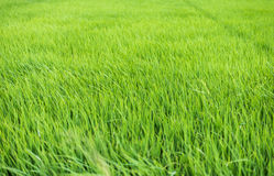 Rice plant in rice field Stock Photography