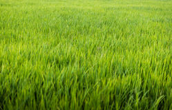 Rice plant in rice field Royalty Free Stock Photo