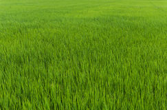 Rice plant in rice field Royalty Free Stock Photos