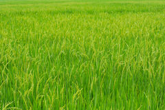 Rice plant in rice field. royalty free stock photos
