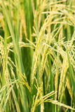Rice plant in rice field. Stock Image