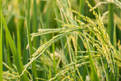 Rice plant in rice field. Stock Images