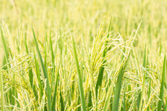 Rice plant in rice field. Stock Photos