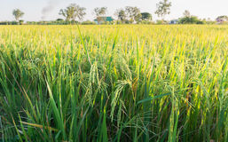 Rice plant in rice field Royalty Free Stock Images