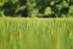 Rice plant rice field. Rice plant in the rice field Stock Photos