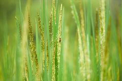 Rice plant rice field. Rice plant in the rice field Royalty Free Stock Image