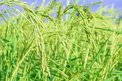 Rice plant in rice field Royalty Free Stock Image