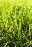 Rice plant showered Stock Photos