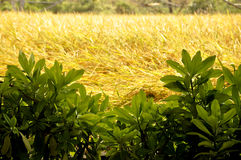 Rice plant Royalty Free Stock Photo