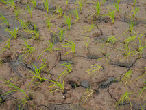 Rice plant and soil crack, Stock Photo
