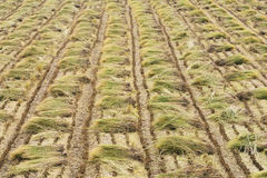 Rice plant straws in a field Royalty Free Stock Images