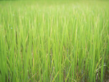 Rice plant. At udonthani thailand Stock Photos