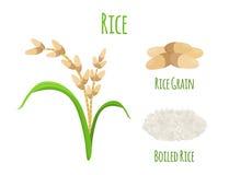 Rice plant, vegetarian food. Green harvest, oryza wheat. Vector illustration Stock Photos
