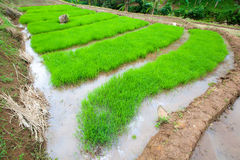 Rice plant with wide angle Stock Photos