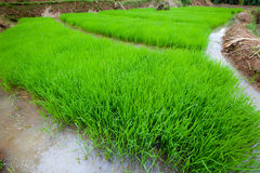 Rice plant with wide angle Royalty Free Stock Images