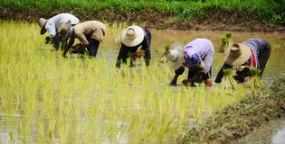 Rice Plantation Stock Photo