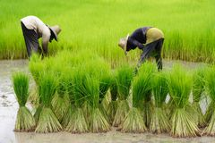 Rice Plantation Royalty Free Stock Images