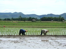 Rice plantation. Two women at work in a rice plantation in Thailand stock images