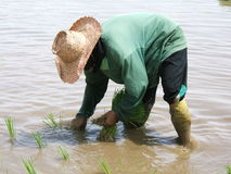 Rice plantation. A woman working in a rice plantation in Thailand royalty free stock photography