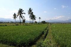 Rice Plantation. In Lombok, Indonesia Royalty Free Stock Photo