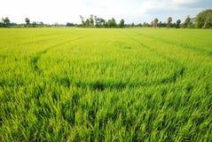 Rice plantation Stock Images
