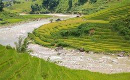 Rice plantation Stock Image